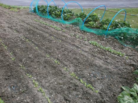 Salade d'hiver - Radis noir.JPG