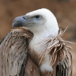 jeune-vautour-503284e5.jpg