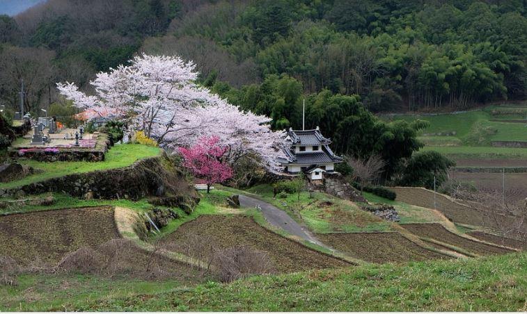 image cerisiers japon.JPG