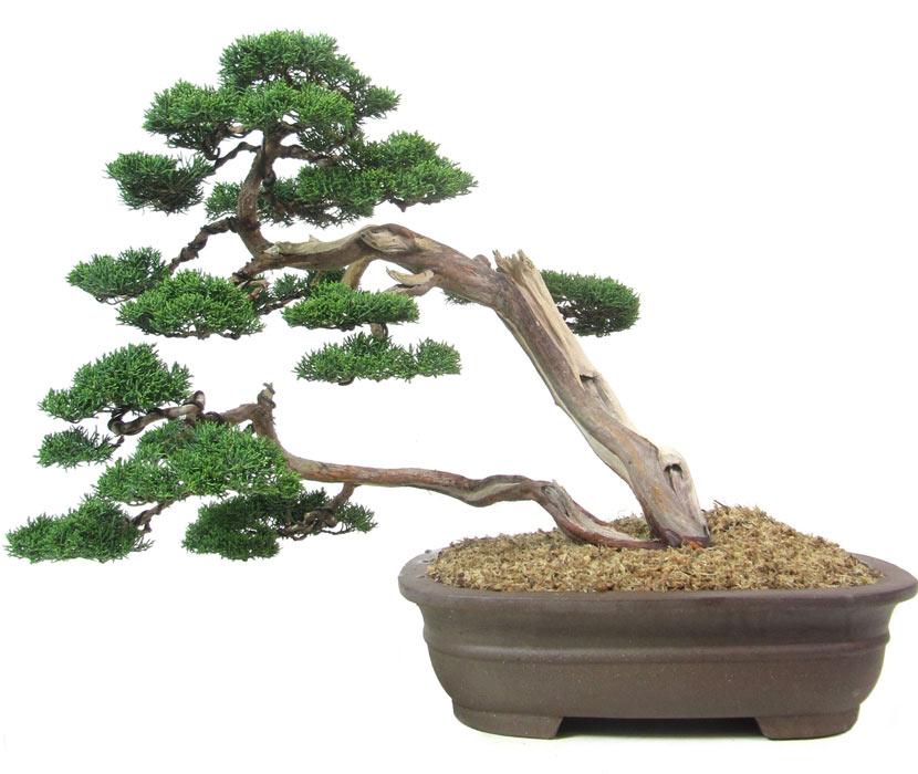 N079_chin_wacholder_juniperus_chinensis_bonsai.jpg