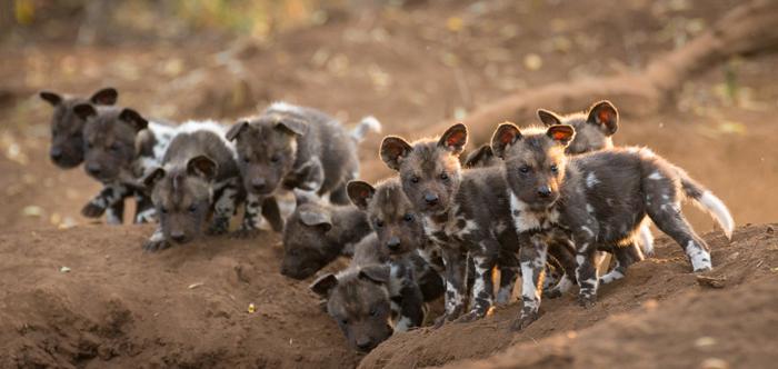 Wild-Dogs-1.jpg