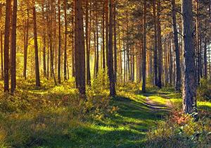 forêt-rayon-or.jpg