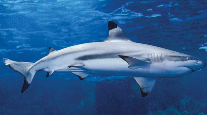 requins pointes.jpg