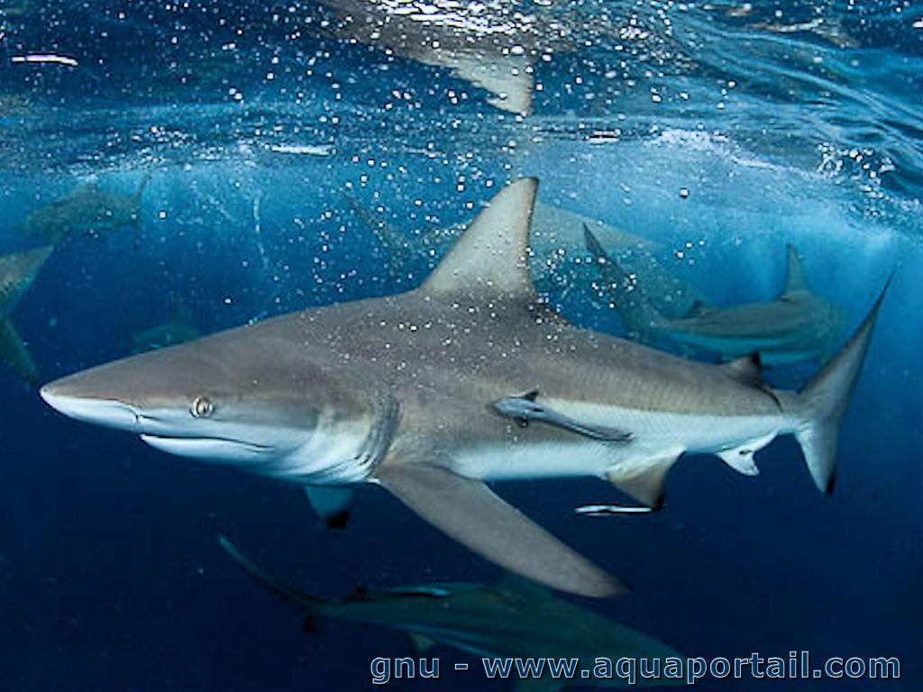 requins tisserand.jpg