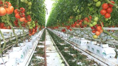 tomates hors sol.jpg