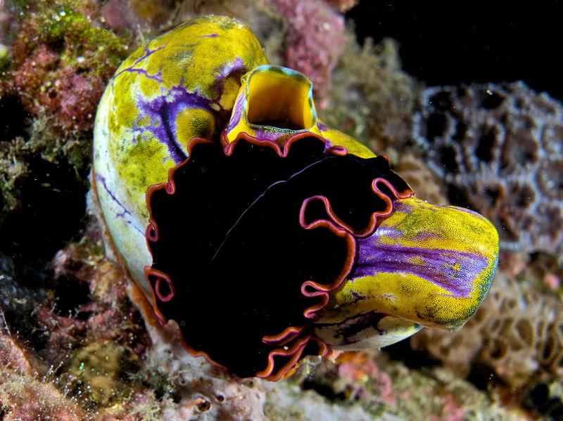 800px-Pserudobiceros_gloriosus_(flatworm)_on_Polycarpa_aurata_(Seasquirt).jpg
