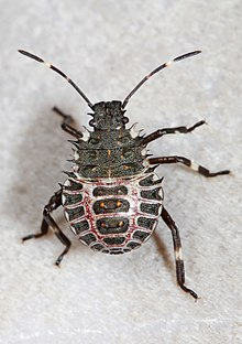 220px-Day_194_-_Brown_Marmorated_Stink_Bug_nymph_-_Halyomorpha_halys,_Woodbridge,_Virginia.jpg