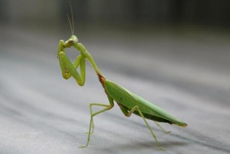 mantis-cc-flickr-shivashankar_0.jpg
