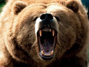 bear 300x225