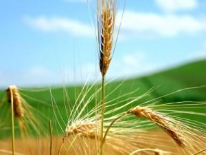 blé 300x225